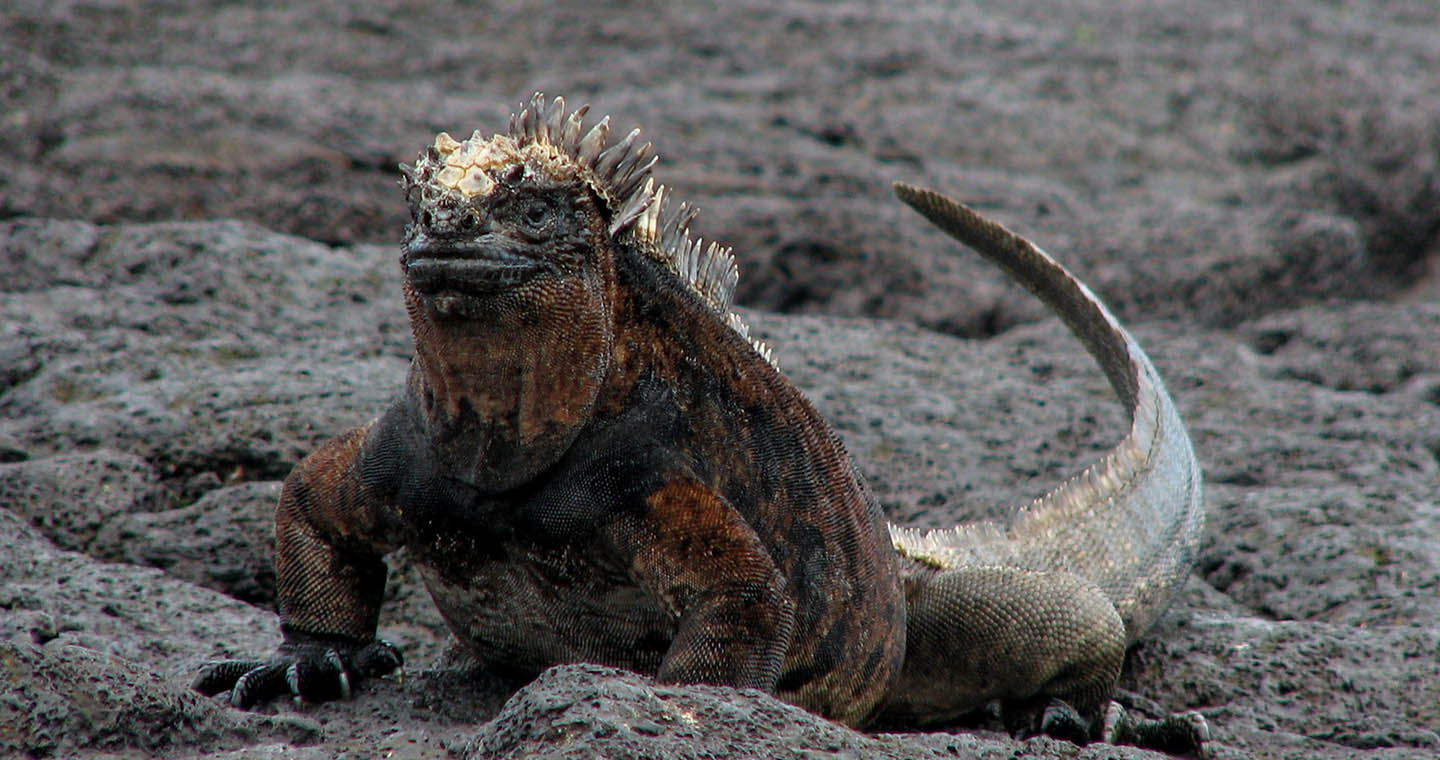 the history of the galapagos islands A history of the galapagos islands courtesy of the galapagos conservation trust, with whom pura aventura work closely.